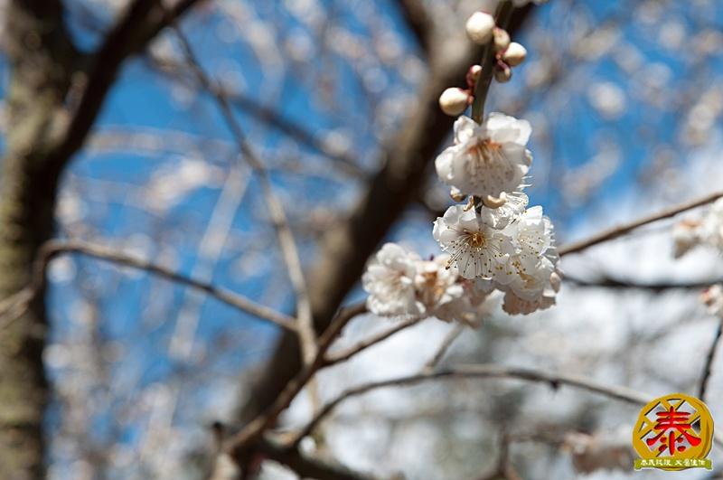 02-11武陵農場全民瘋櫻花A (31)