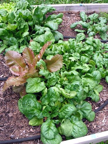 Spinach by jenniferworthen