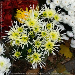 Chrysanthemum 'Vesuvio Green' - Chryzantema