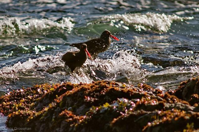 Foraging Black Oystercatchers (Haematopus bachmani) - Nikon N55 - 75-300mm f/4.5-5.6 AF Nikkor - Pro 160S