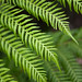 Ferns by crafterm