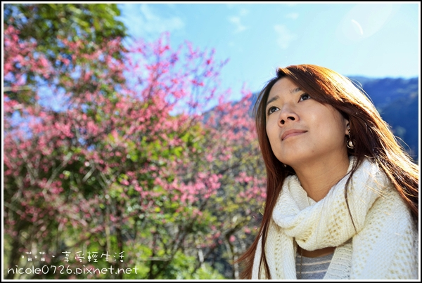 八仙山賞櫻