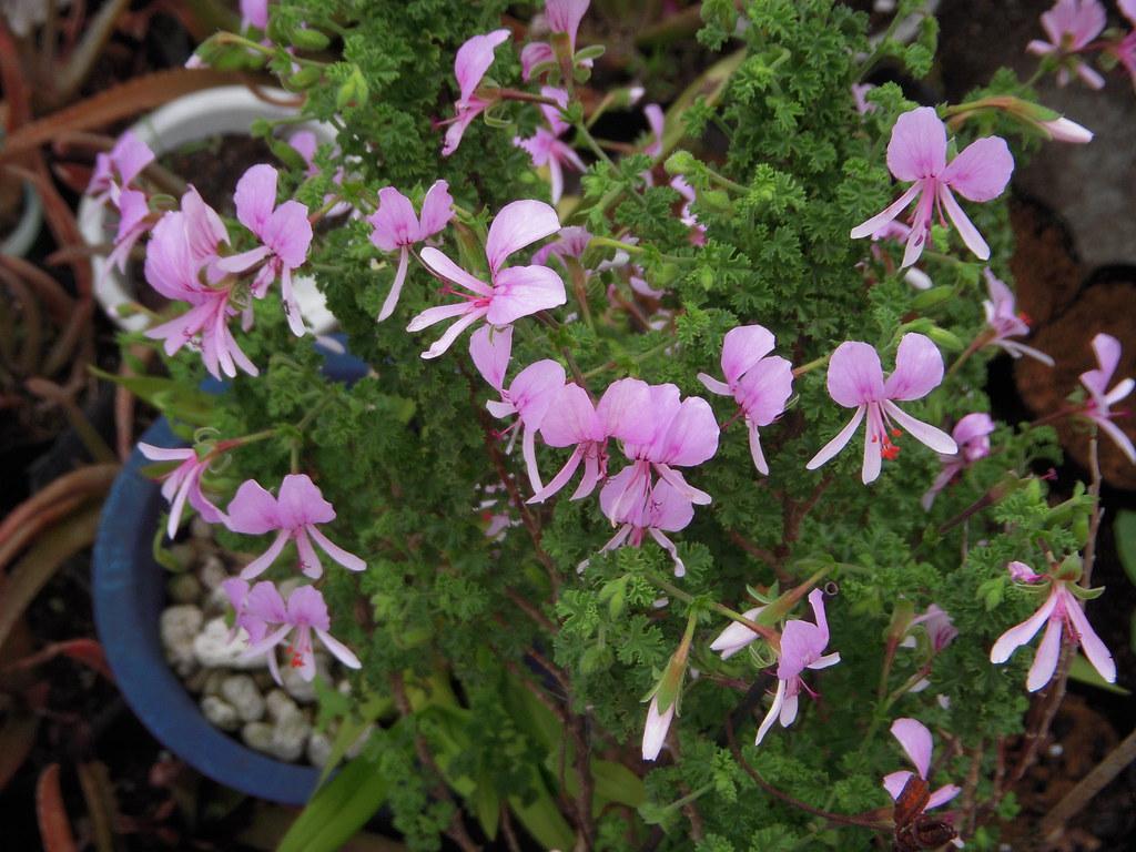 Rosezelanium