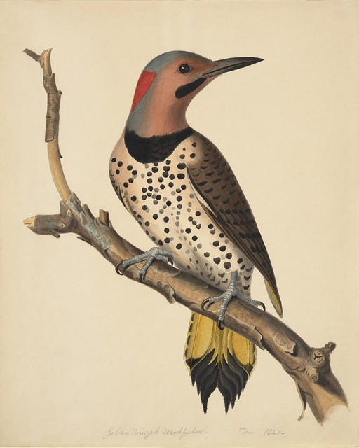 19th c. watercolour sketch of woodpecker