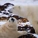 Polar Bears (Ursus maritimus) 0563-1 by Dr DAD (Daniel A D'Auria MD)