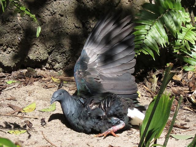 Nicobar Pigeon sunning
