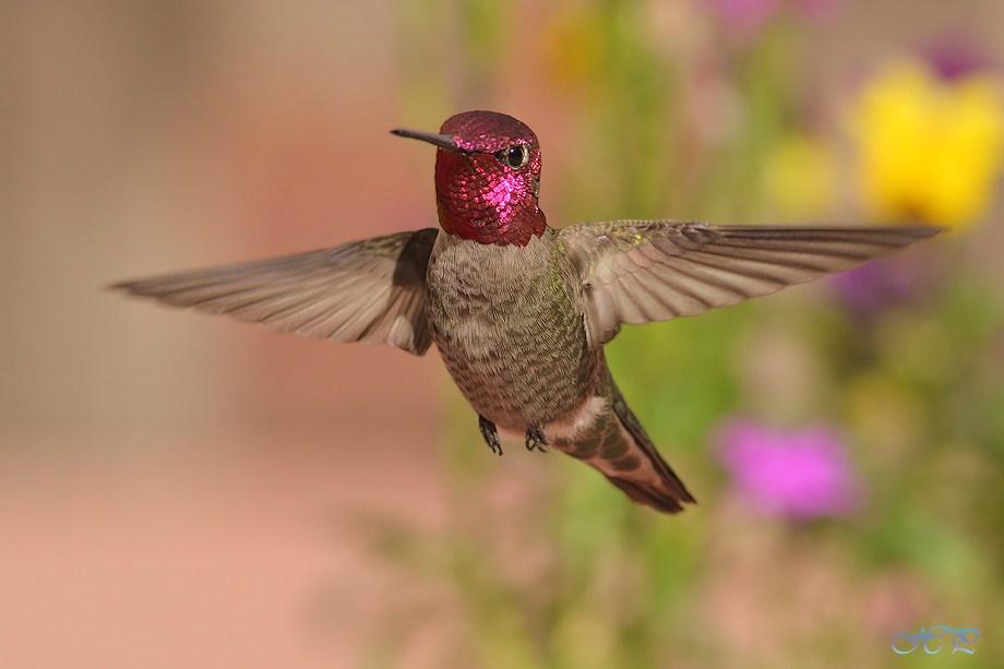 Anna's Hummingbird 021712-4