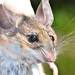 Pinyon Mouse - Photo (c) loarie, some rights reserved (CC BY-NC-SA)