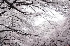 2012 上野桜まつり