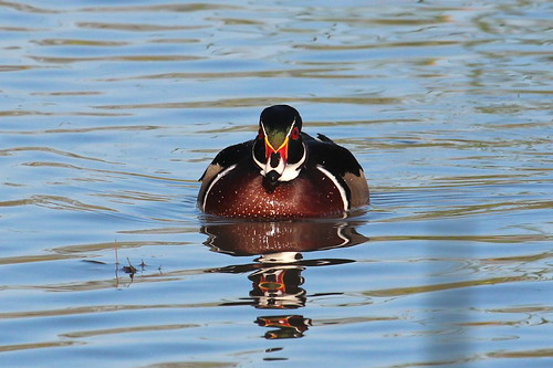Battleship Duck by ricmcarthur