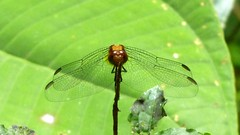 Dragonflies & Damselflies of Ecuador