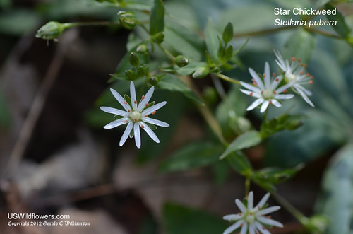 Star Chickweed - Stellaria pubera by USWildflowers, on Flickr