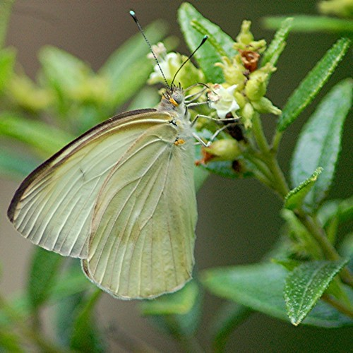 Great Southern White has glowing turquoise antennae tips! by jungle mama