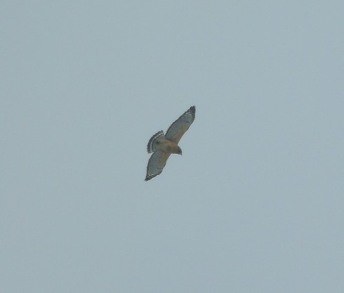 Red-shouldered Hawk, Sand Lake, MI, Feb 28, 2012