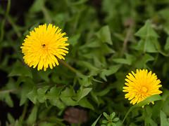 春の草花 Spring flowers