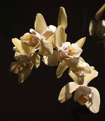 Vanilla Orchids