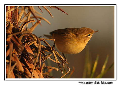 Common Chiffchaff at sunset