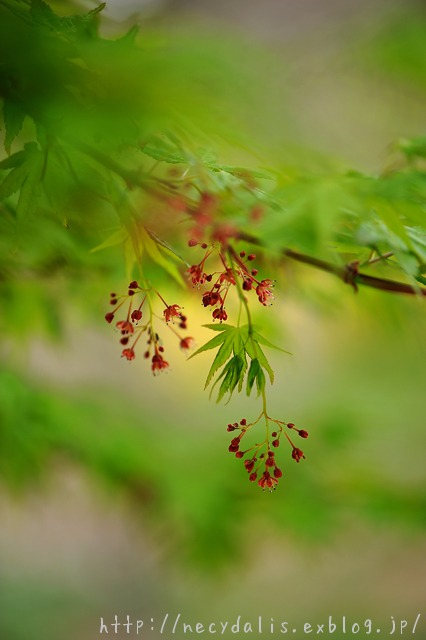 flowers of Japanese maple...