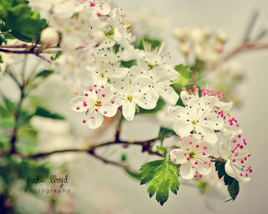White-blossoms---8x10