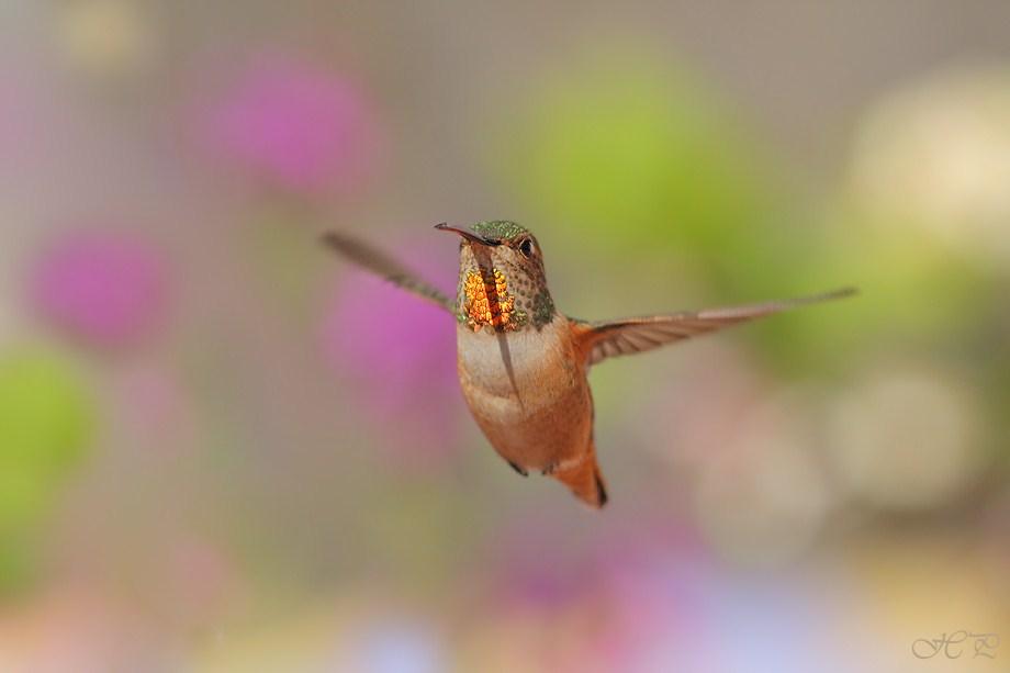 Allen's Hummingbird 030712