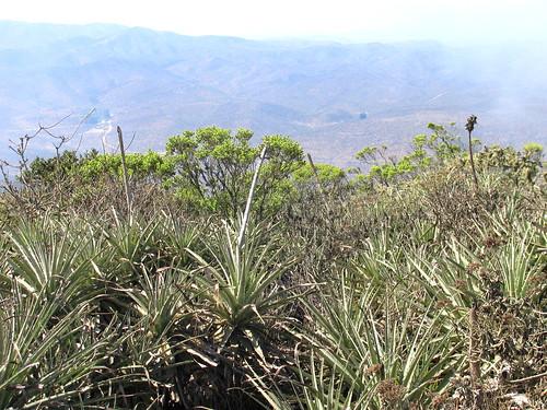 Puyas y flora de la zona semi desértica