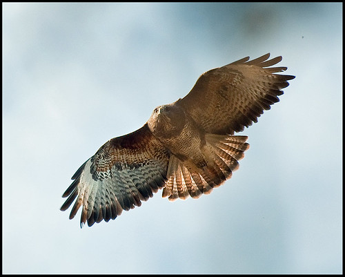 Buzzard in Flight 2