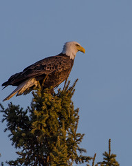Eagle on Spruce_8724.jpg by Mully410 * Images
