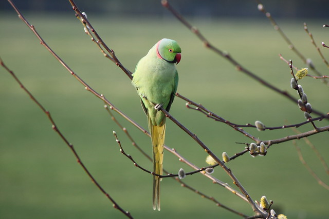 Ring-necked Parakeet at Woodlands Farm