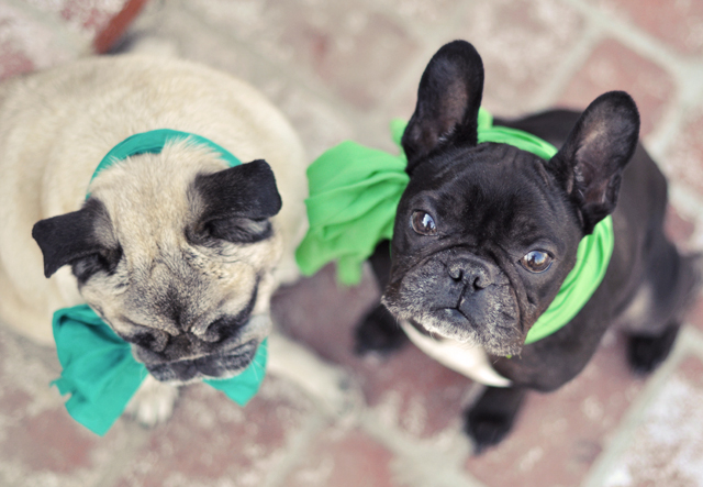 dogs in scarves- pug-french bulldog