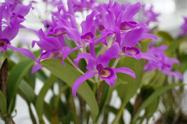 Photo:Cattleya C.guatemalensis. カトレア ガテマレンシス By T.Kiya