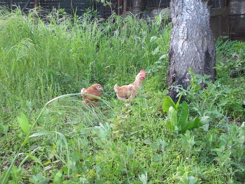 arrivano le galline 11