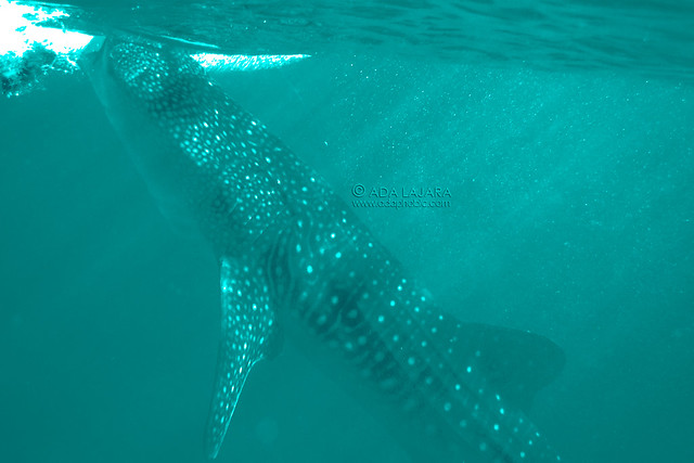 Oslob Whale Sharks