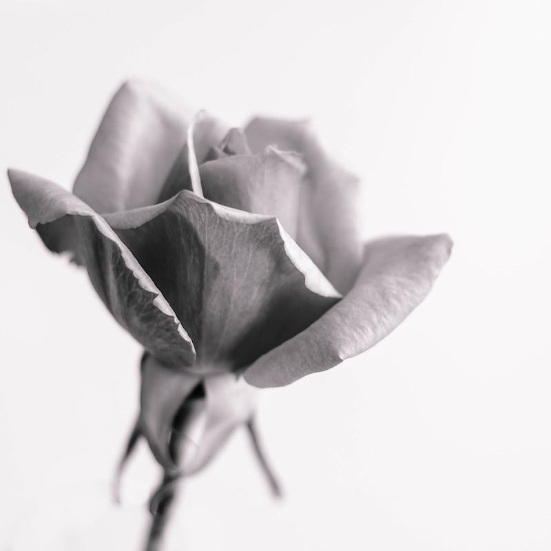 Simplemente una rosa (+ en comentarios)