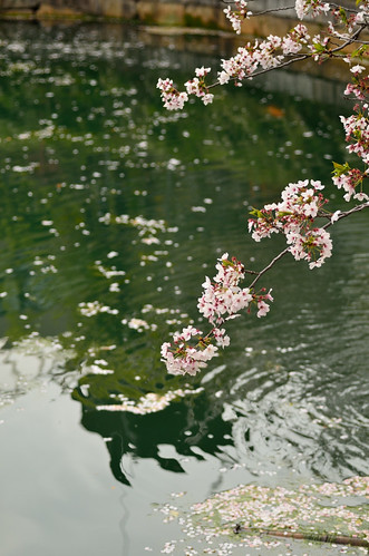 Cherry blossoms that began to scatter@Shitennouji-temple.