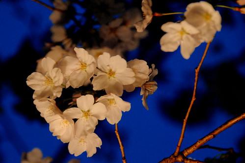 Tsurumai Koen Sakura 096r
