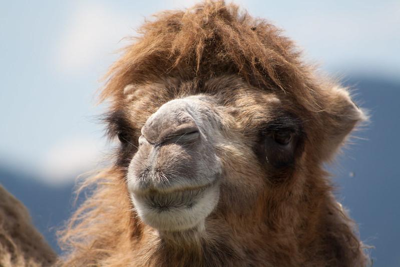 camelssix