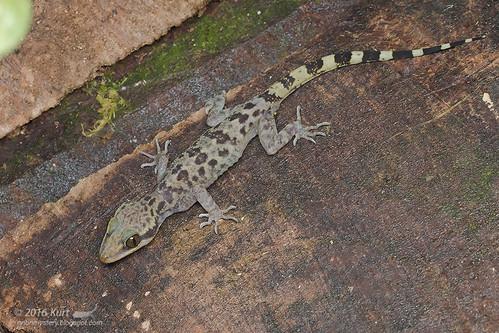Cyrtodactylus baluensis_MG_9125 copy