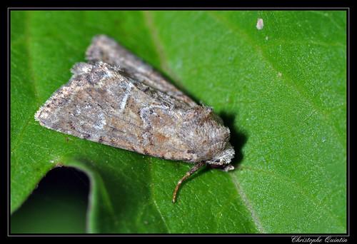 Noctuelle furoncule (Mesoligia furuncula)