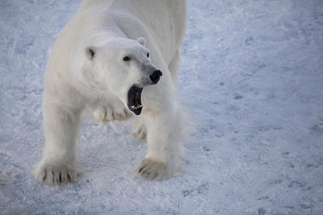 Polar bear growling | An adult polar bear that approached ...