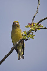 Greenfinch 7