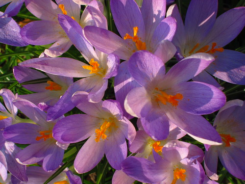Crocuses at the Temperate House