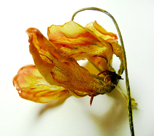 Dried Tulip