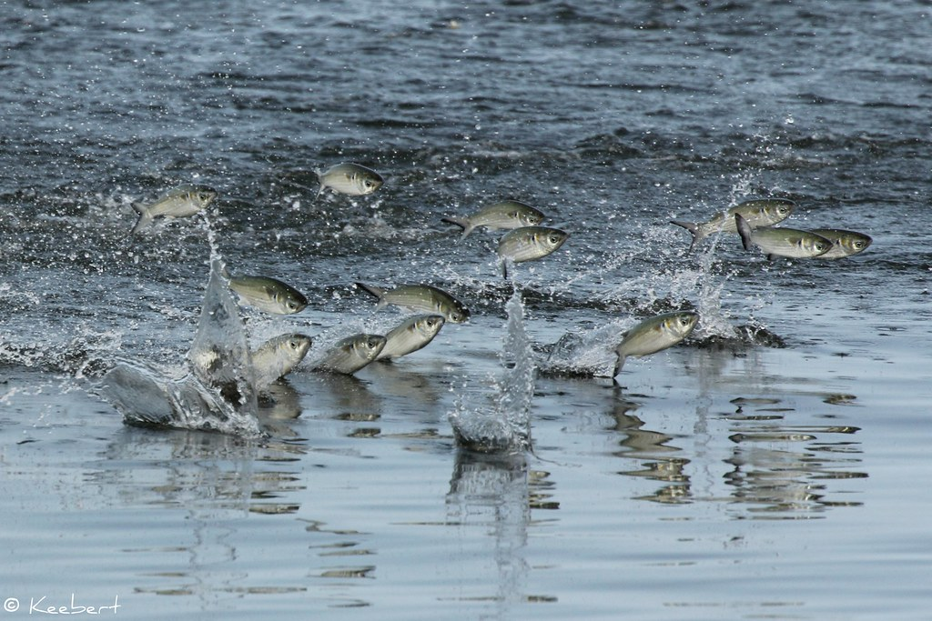 Jumping fish wildlife in photography on forums for Pictures of mullet fish
