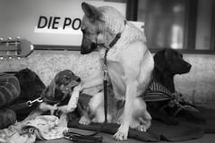 [フリー画像素材] 動物 1, 犬・イヌ, ダックスフンド, ジャーマン・シェパード・ドッグ, モノクロ ID:201203101000