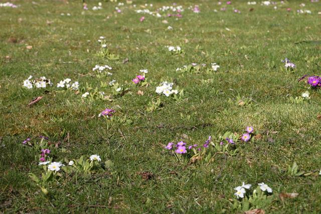 Primula Lawn