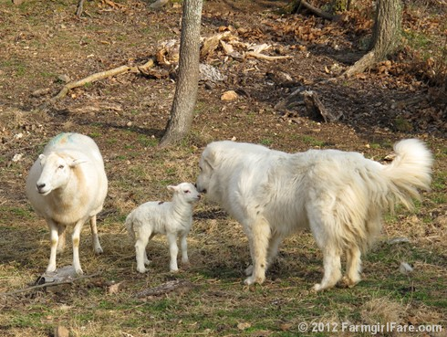 Farm dogs and little lambs 1 - FarmgirlFare.com