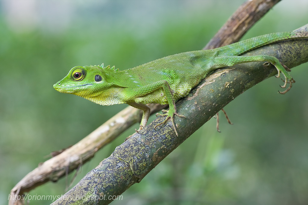 Green crested lizard | Photography Forum