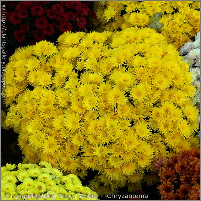 Chrysanthemum 'Aluga Yellow' - Chryzantema 'Aluga Yellow'