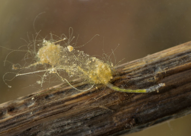Chironomid midge larva in case 2 edited