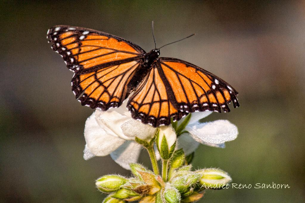 Viceroy Butterfly (Limenitis archippus)-4.jpg